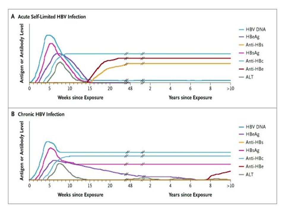 Status HBV Anti HBs HBIg(0.0 6 ml/kg) Vaccino HBV commento Non vaccinato >10mUI/ml <10mUI/ml Nulla Schema 0-1 mese Schema 0-1- 2-12 mesi Vaccino e HBIG simultaneamente Vaccinazione incompleta o non sa se ha completato >10mUI/ml <10mUI/ml Nulla Schema 0Completare o schema 0- 1-2-12 mesi Come sopra Non responder Schema 0-1 mese Schema 0-1- 2-12 mesi Come sopra Vaccinato.