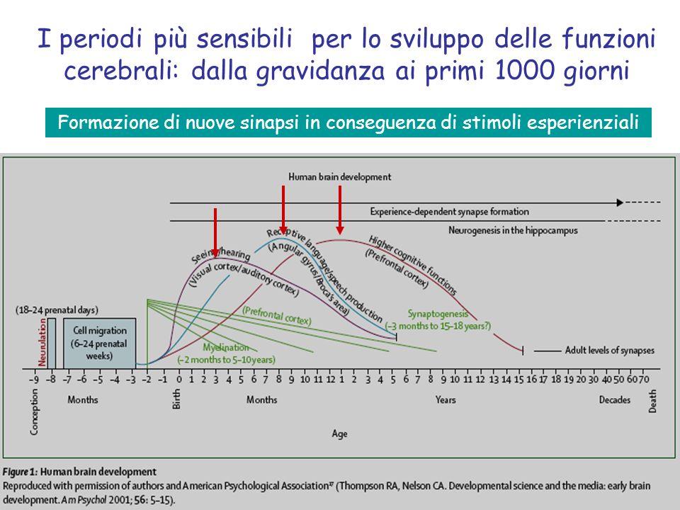I periodi più sensibili per lo sviluppo delle funzioni cerebrali: dalla gravidanza ai primi 1000 giorni Formazione di nuove sinapsi in conseguenza di stimoli esperienziali