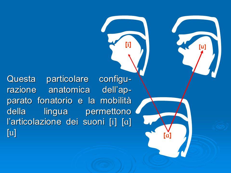 Questa particolare configu- razione anatomica dellap- parato fonatorio e la mobilità della lingua permettono larticolazione dei suoni [ ] [ ] [ ] [i][