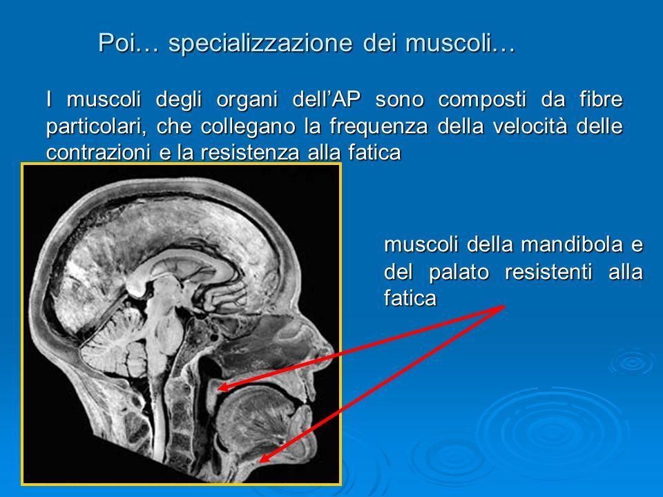 Poi… specializzazione dei muscoli… I muscoli degli organi dellAP sono composti da fibre particolari, che collegano la frequenza della velocità delle c