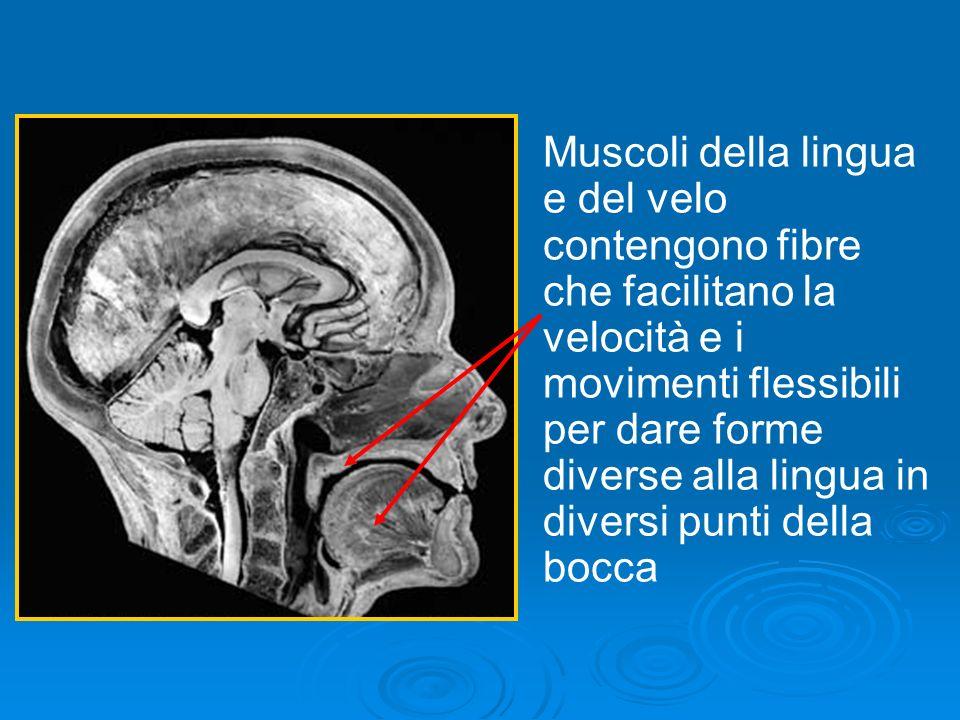 Muscoli della lingua e del velo contengono fibre che facilitano la velocità e i movimenti flessibili per dare forme diverse alla lingua in diversi pun