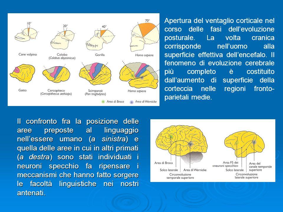 Il confronto fra la posizione delle aree preposte al linguaggio nellessere umano (a sinistra) e quella delle aree in cui in altri primati (a destra) s