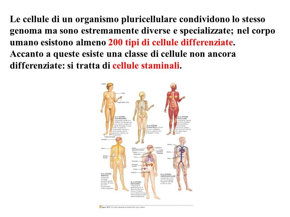 Le cellule di un organismo pluricellulare condividono lo stesso genoma ma sono estremamente diverse e specializzate; nel corpo umano esistono almeno 2