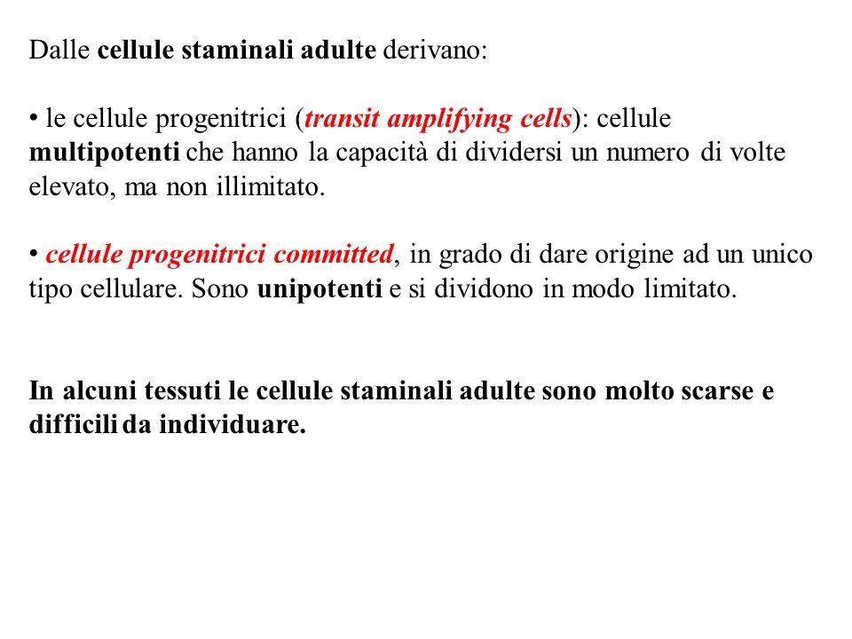 Dalle cellule staminali adulte derivano: le cellule progenitrici (transit amplifying cells): cellule multipotenti che hanno la capacità di dividersi u