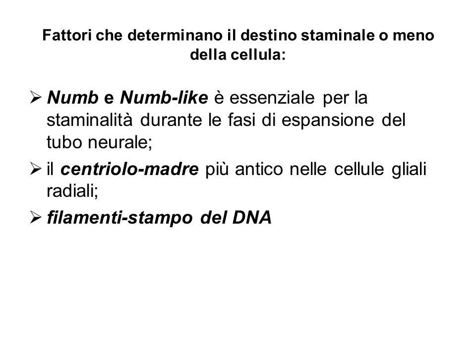 Fattori che determinano il destino staminale o meno della cellula: Numb e Numb-like è essenziale per la staminalità durante le fasi di espansione del