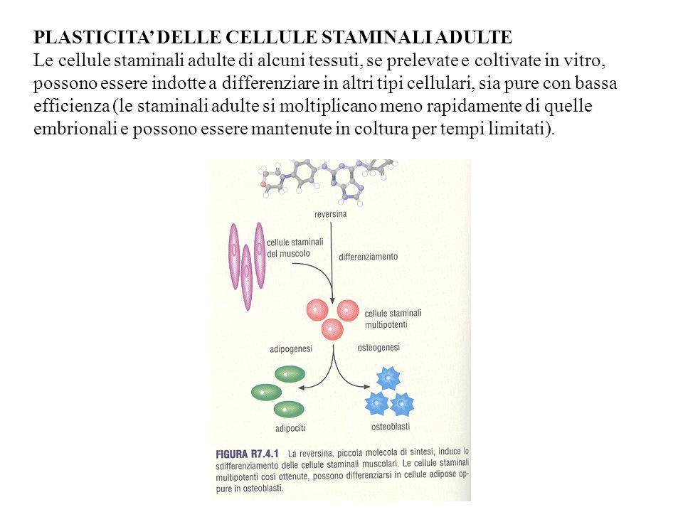 PLASTICITA DELLE CELLULE STAMINALI ADULTE Le cellule staminali adulte di alcuni tessuti, se prelevate e coltivate in vitro, possono essere indotte a d