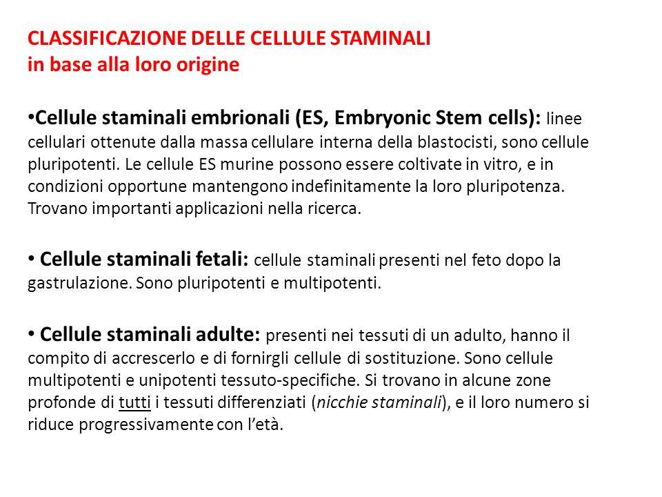 CLASSIFICAZIONE DELLE CELLULE STAMINALI in base alla loro origine Cellule staminali embrionali (ES, Embryonic Stem cells): linee cellulari ottenute da