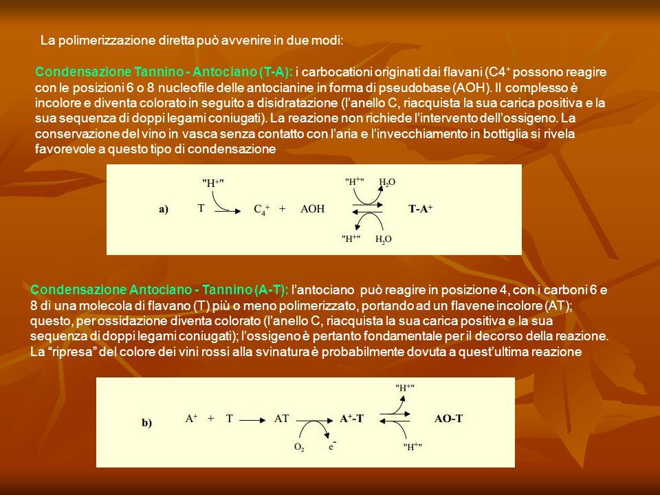 La polimerizzazione diretta può avvenire in due modi: Condensazione Tannino - Antociano (T-A): i carbocationi originati dai flavani (C4 + possono reag