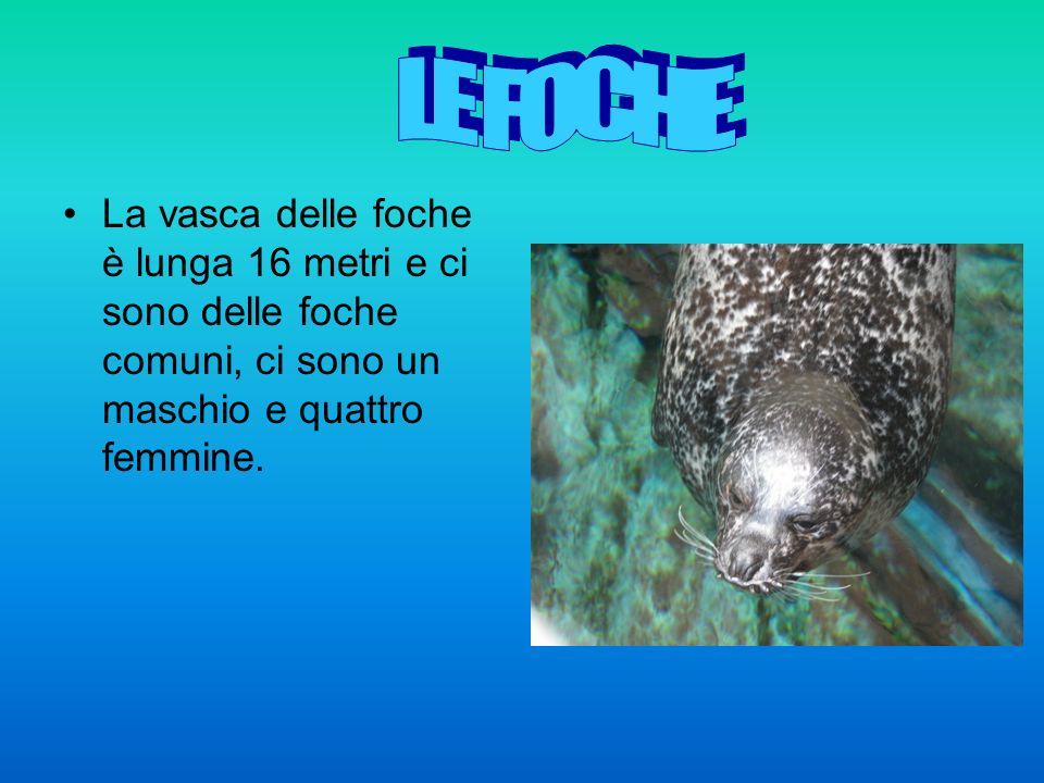 La vasca delle foche è lunga 16 metri e ci sono delle foche comuni, ci sono un maschio e quattro femmine.