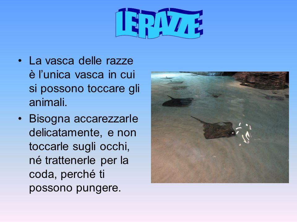 La vasca delle razze è lunica vasca in cui si possono toccare gli animali. Bisogna accarezzarle delicatamente, e non toccarle sugli occhi, né trattene