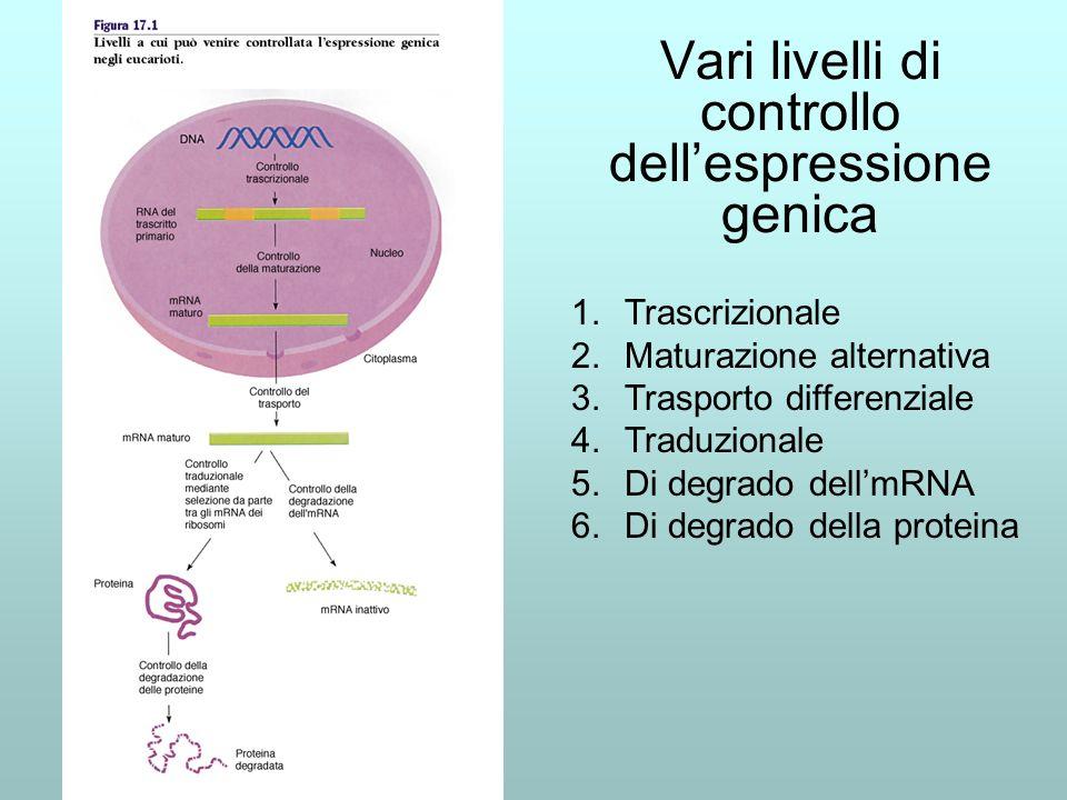 Vari livelli di controllo dellespressione genica 1.Trascrizionale 2.Maturazione alternativa 3.Trasporto differenziale 4.Traduzionale 5.Di degrado dell