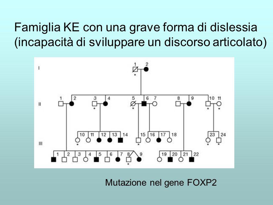 Famiglia KE con una grave forma di dislessia (incapacità di sviluppare un discorso articolato) Mutazione nel gene FOXP2