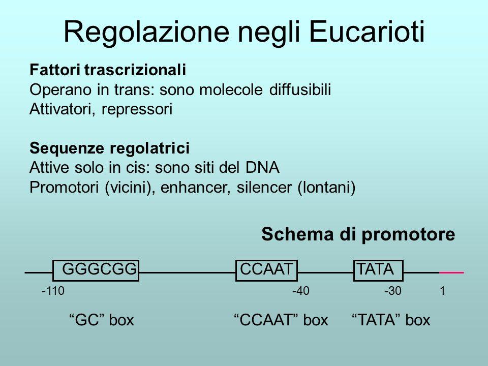 Regolazione negli Eucarioti Fattori trascrizionali Operano in trans: sono molecole diffusibili Attivatori, repressori Sequenze regolatrici Attive solo