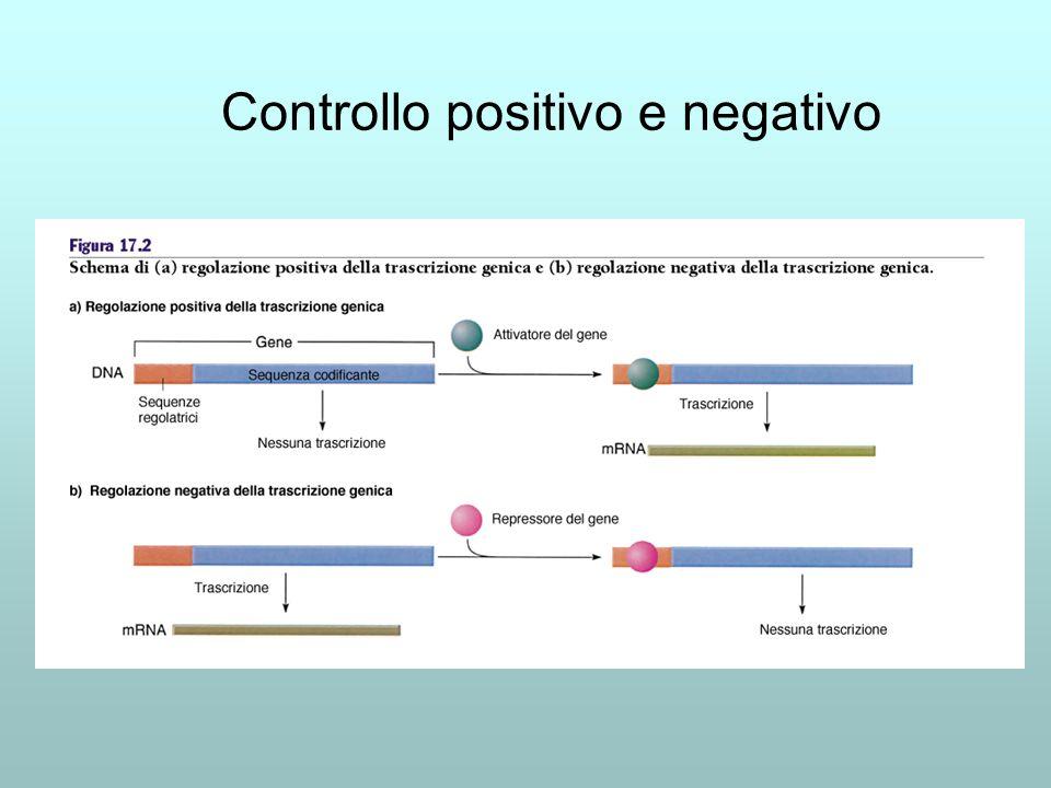 Albero evolutivo di FOXP2 Abbiamo trovato il gene per il linguaggio?