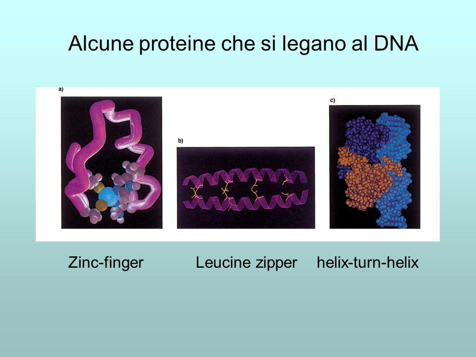 Zinc-finger Leucine zipper helix-turn-helix Alcune proteine che si legano al DNA