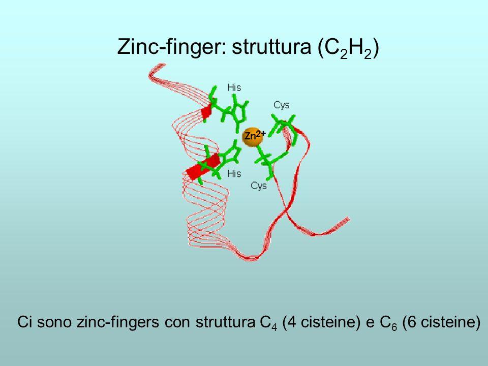 Zinc-finger: Il recettore dellestrogeno, ER Un dimero di ER si inserisce nel solco maggiore del DNA, provocando lapertura della doppia elica