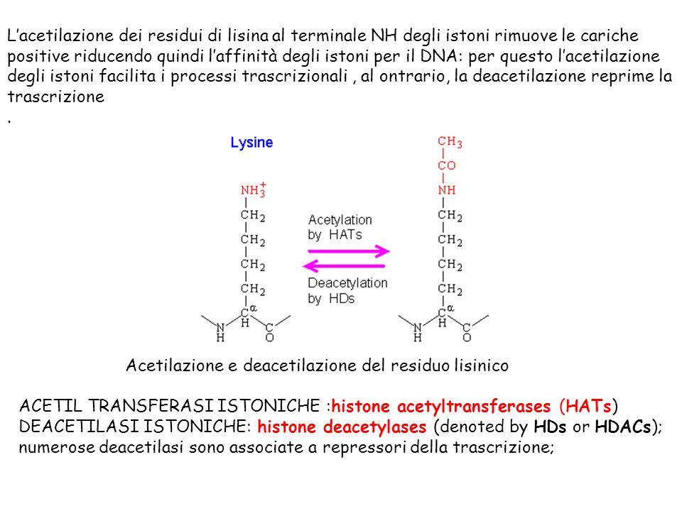 Lacetilazione dei residui di lisina al terminale NH degli istoni rimuove le cariche positive riducendo quindi laffinità degli istoni per il DNA: per q