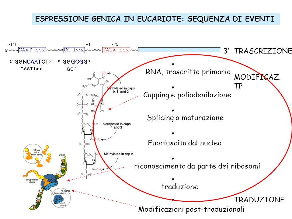 ESPRESSIONE GENICA IN EUCARIOTE: SEQUENZA DI EVENTI 3 TRASCRIZIONE MODIFICAZ. TP TRADUZIONE RNA, trascritto primario Capping e poliadenilazione Splici