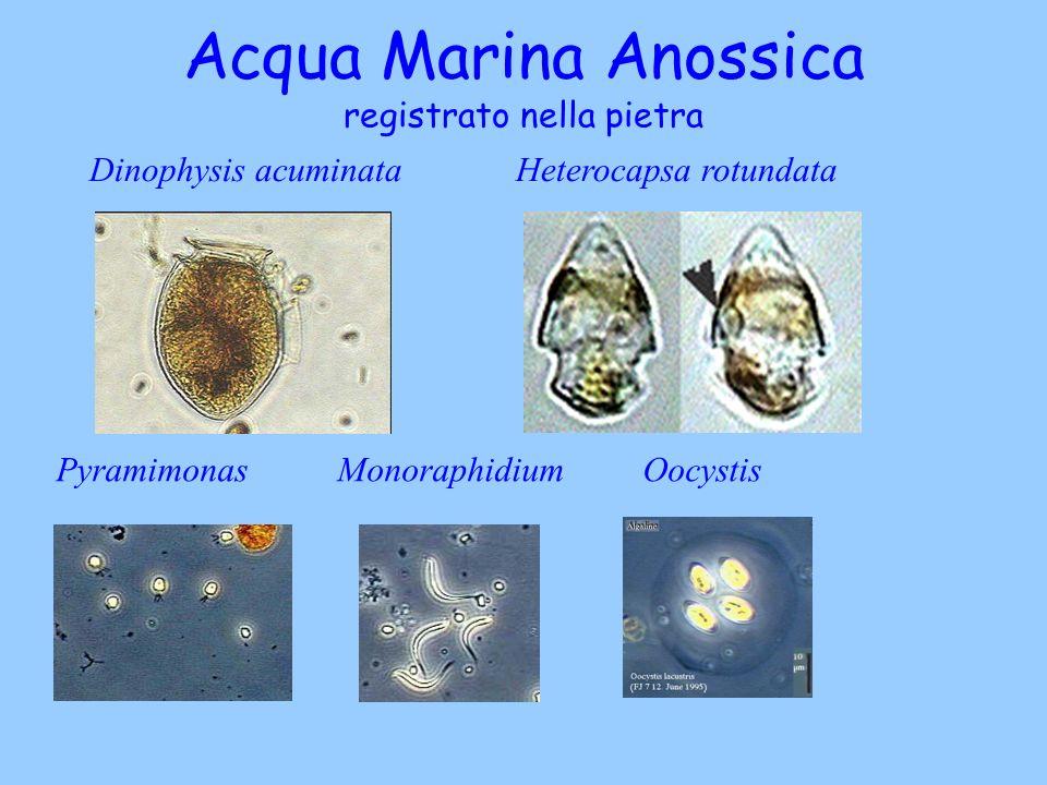 Acqua Marina Anossica registrato nella pietra Dinophysis acuminata Heterocapsa rotundata Pyramimonas Monoraphidium Oocystis