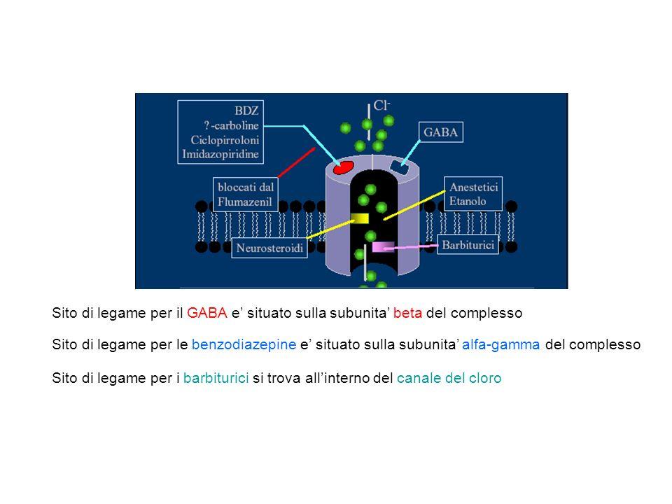 Aumentano la frequenza dellapertura del canale in risposta a dosi submassimali di GABA BENZODIAZEPINE: alterano il legame del GABA al recettore e potenziano lazione del GABA in tutto il SNC Con analoghe concentrazioni di GABA si ha maggior legame al recettore ed effetto inibitorio piu intenso A concentrazioni elevate i barbiturici si comportano come GABA-mimetici E ATTIVANO DIRETTAMENTE IL RECETTORE BARBITURICI: facilitano lazione inibitoria del GABA, ma prolungano invece che intensificare la risposta al GABA (minor selettivita di effetto: deprimono lazione dei NT eccitatori e hanno effetti di membrana)