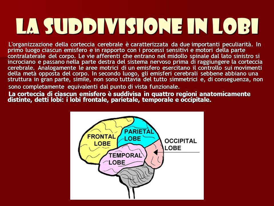 La suddivisione in lobi L'organizzazione della corteccia cerebrale è caratterizzata da due importanti peculiarità. In primo luogo ciascun emisfero e i
