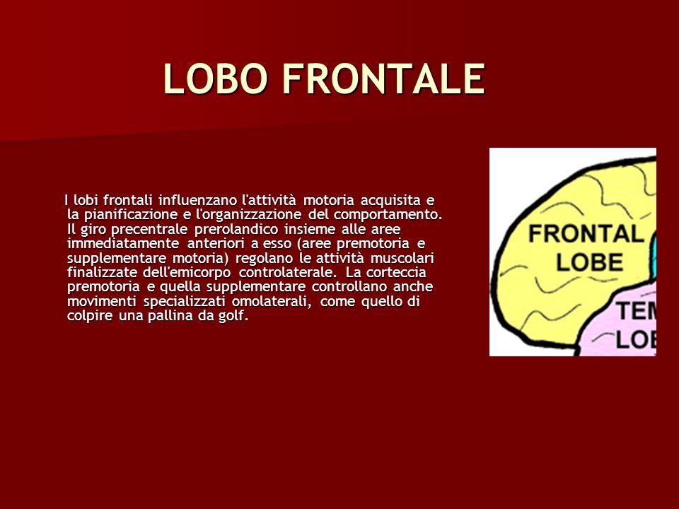 LOBO FRONTALE I lobi frontali influenzano l'attività motoria acquisita e la pianificazione e l'organizzazione del comportamento. Il giro precentrale p