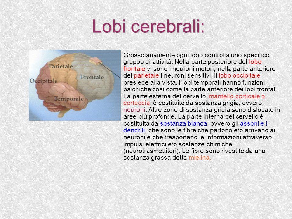 Lobi cerebrali: Lobi cerebrali: Grossolanamente ogni lobo controlla uno specifico gruppo di attività. Nella parte posteriore del lobo frontale vi sono
