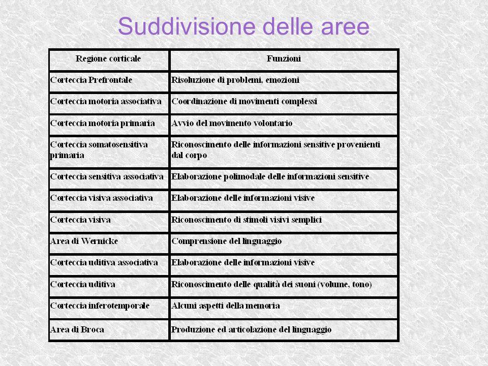 Cervelletto E la seconda area più vasta dell encefalo.