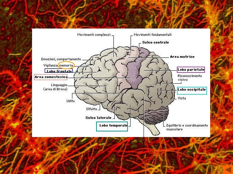 L area somestesica primaria riceve impulsi della sensibilità somatica generale di tutto il corpo, è localizzata nella circonvoluzione postcentrale e precisamente nelle aree 3, 1 e 2 del lobo parietale.