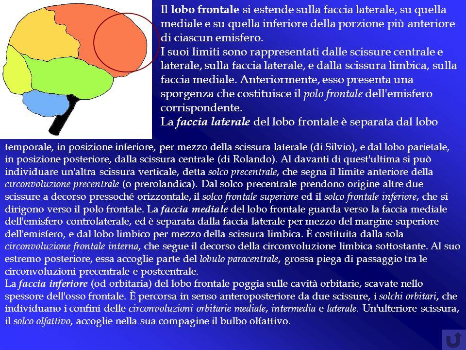 Il lobo frontale si estende sulla faccia laterale, su quella mediale e su quella inferiore della porzione più anteriore di ciascun emisfero. I suoi li