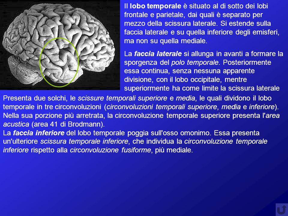 Il lobo temporale è situato al di sotto dei lobi frontale e parietale, dai quali è separato per mezzo della scissura laterale. Si estende sulla faccia