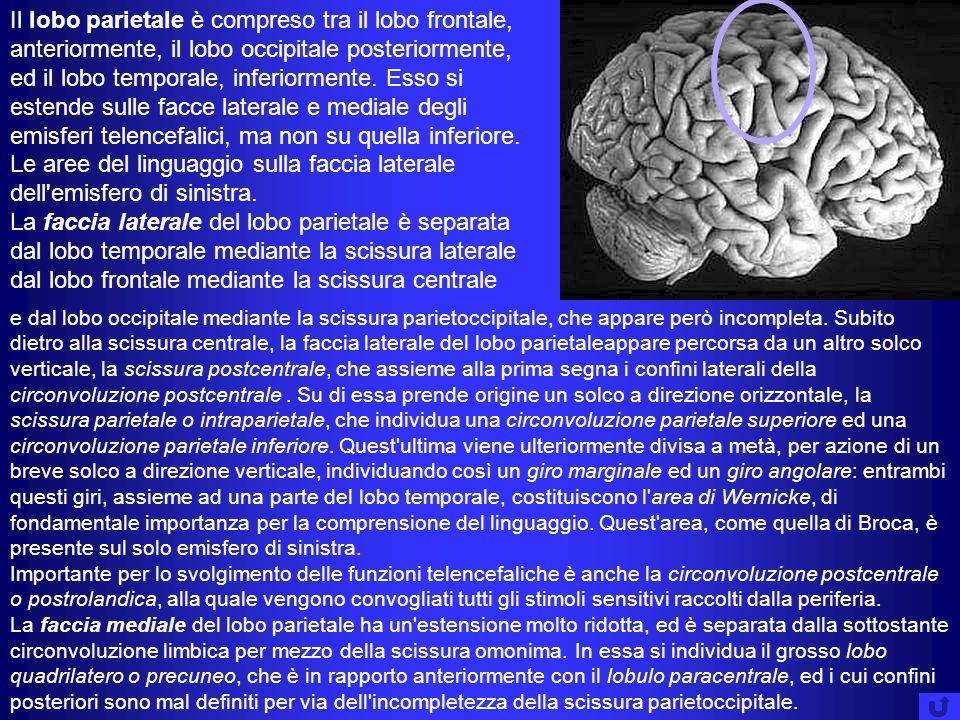 Il lobo parietale è compreso tra il lobo frontale, anteriormente, il lobo occipitale posteriormente, ed il lobo temporale, inferiormente. Esso si este