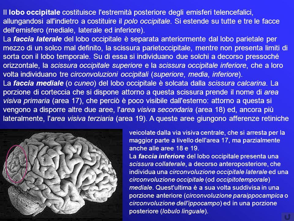 Il lobo occipitale costituisce l'estremità posteriore degli emisferi telencefalici, allungandosi all'indietro a costituire il polo occipitale. Si este