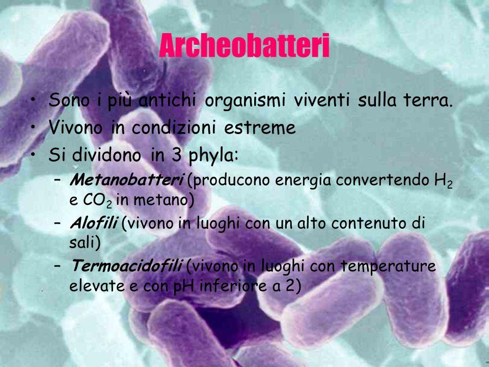 Eubatteri Sono più complessi e comuni degli archeobatteri Si dividono nei seguenti phyla: –Cianobatteri (sono fotosintetici) –Spirochete (sono gram -, a forma di spirale e eterotrofi.