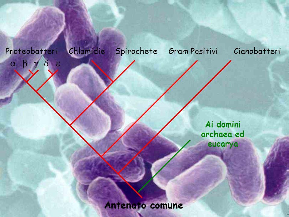 Antenato comune Proteobatteri ChlamidieSpirocheteGram PositiviCianobatteri Ai domini archaea ed eucarya