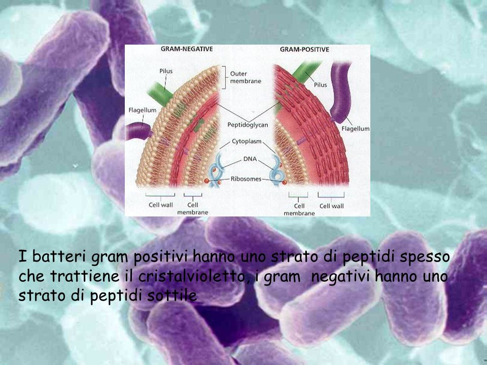 I batteri gram positivi hanno uno strato di peptidi spesso che trattiene il cristalvioletto, i gram negativi hanno uno strato di peptidi sottile