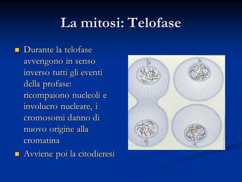 La mitosi: Telofase Durante la telofase avvengono in senso inverso tutti gli eventi della profase: ricompaiono nucleoli e involucro nucleare, i cromos