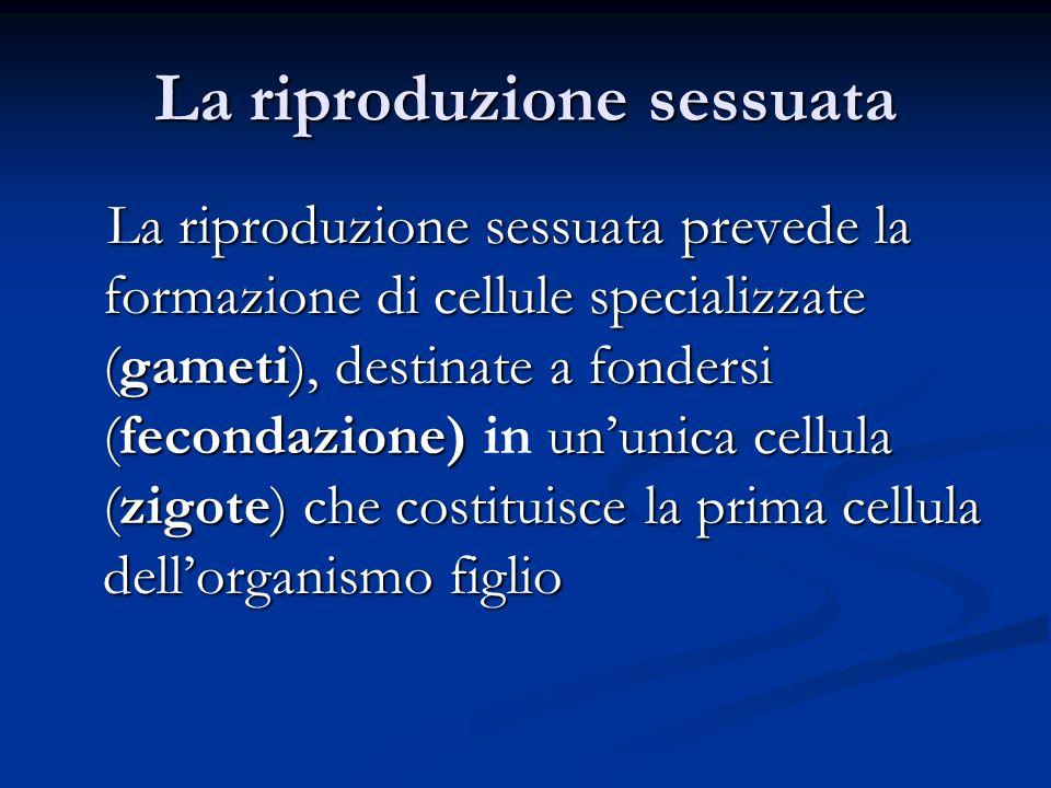 La riproduzione sessuata La riproduzione sessuata prevede la formazione di cellule specializzate (gameti), destinate a fondersi (fecondazione) ununica