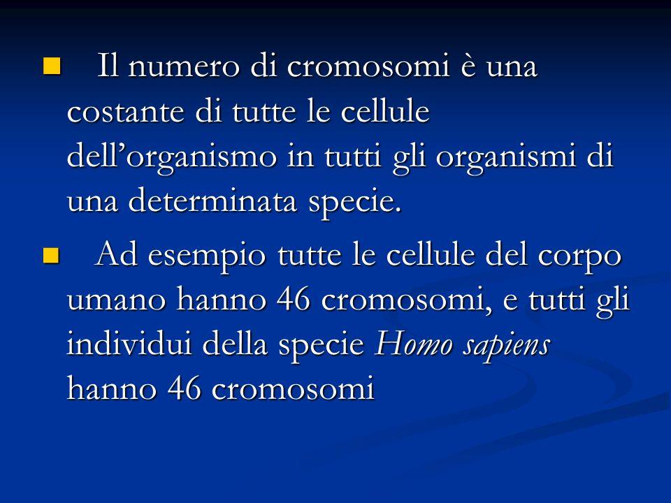Il numero di cromosomi è una costante di tutte le cellule dellorganismo in tutti gli organismi di una determinata specie. Il numero di cromosomi è una