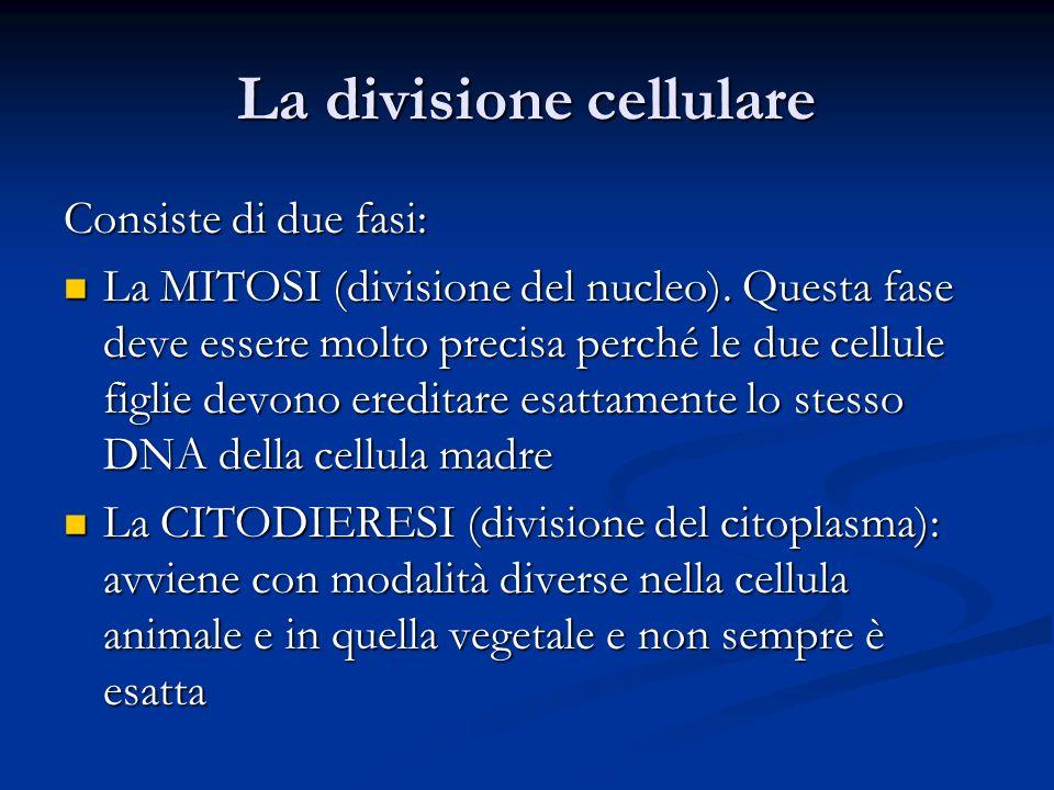 La divisione cellulare Consiste di due fasi: La MITOSI (divisione del nucleo). Questa fase deve essere molto precisa perché le due cellule figlie devo