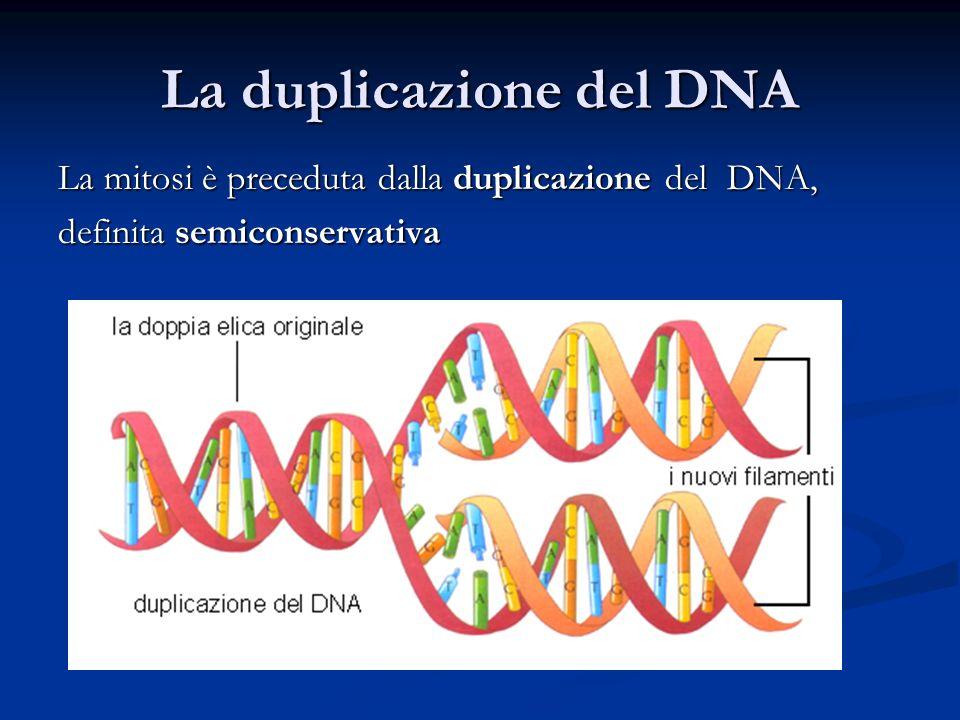 La duplicazione del DNA La mitosi è preceduta dalla duplicazione del DNA, definita semiconservativa