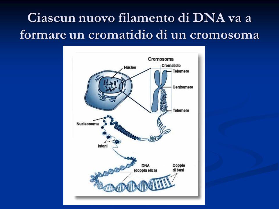 Ciascun nuovo filamento di DNA va a formare un cromatidio di un cromosoma