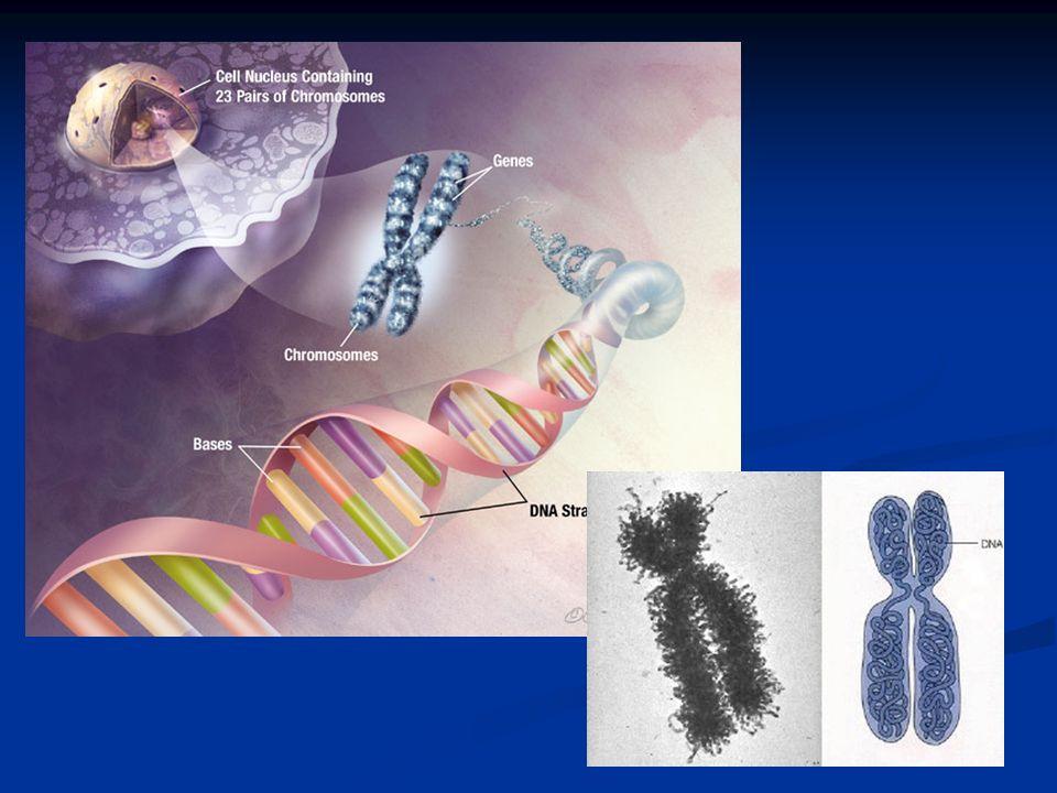 Il cariotipo Si definisce cariotipo la raffigurazione dellintero patrimonio cromosomico di una determinata specie Dallesame del cariotipo di una cellula, ad esempio umana, si nota come i cromosomi siano simili per forma e dimensioni, a due a due (cromosomi omologhi) La specie umana possiede 23 coppie di cromosomi omologhi ( nella femmina che ha i cromosomi sessuali XX) e 22 nel maschio (che ha i cromosomi sessuali XY e quindi non omologhi)