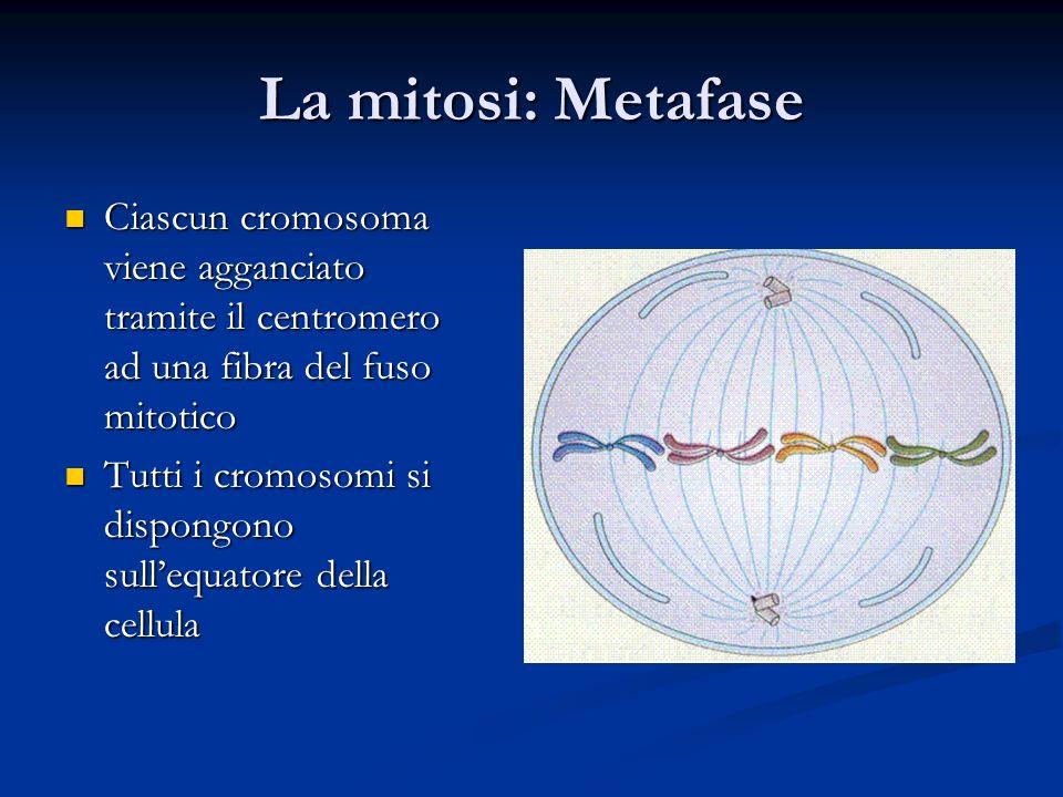 La mitosi: Metafase Ciascun cromosoma viene agganciato tramite il centromero ad una fibra del fuso mitotico Ciascun cromosoma viene agganciato tramite