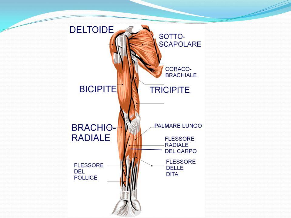 Muscoli striati e lisci I muscoli che danno forma (muscoli scheletrici e pellicciai) ed espressività (muscoli mimici) al nostro corpo, sono anche detti muscoli volontari, perché rispondono alla nostra volontà.