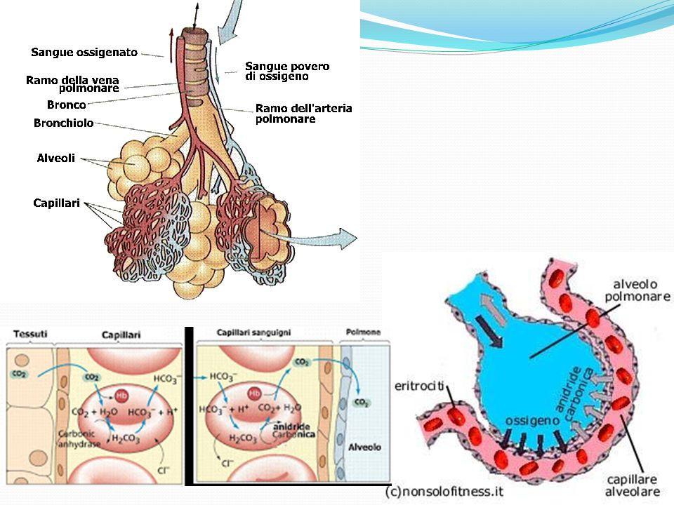 Respirazione cellulare La respirazione cellulare è il processo attraverso il quale le cellule utilizzano lossigeno proveniente dalla ventilazione polmonare.