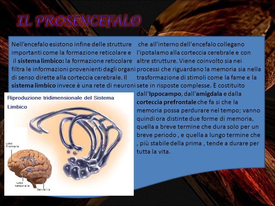 Nellencefalo esistono infine delle strutture importanti come la formazione reticolare e il sistema limbico: la formazione reticolare filtra le informa