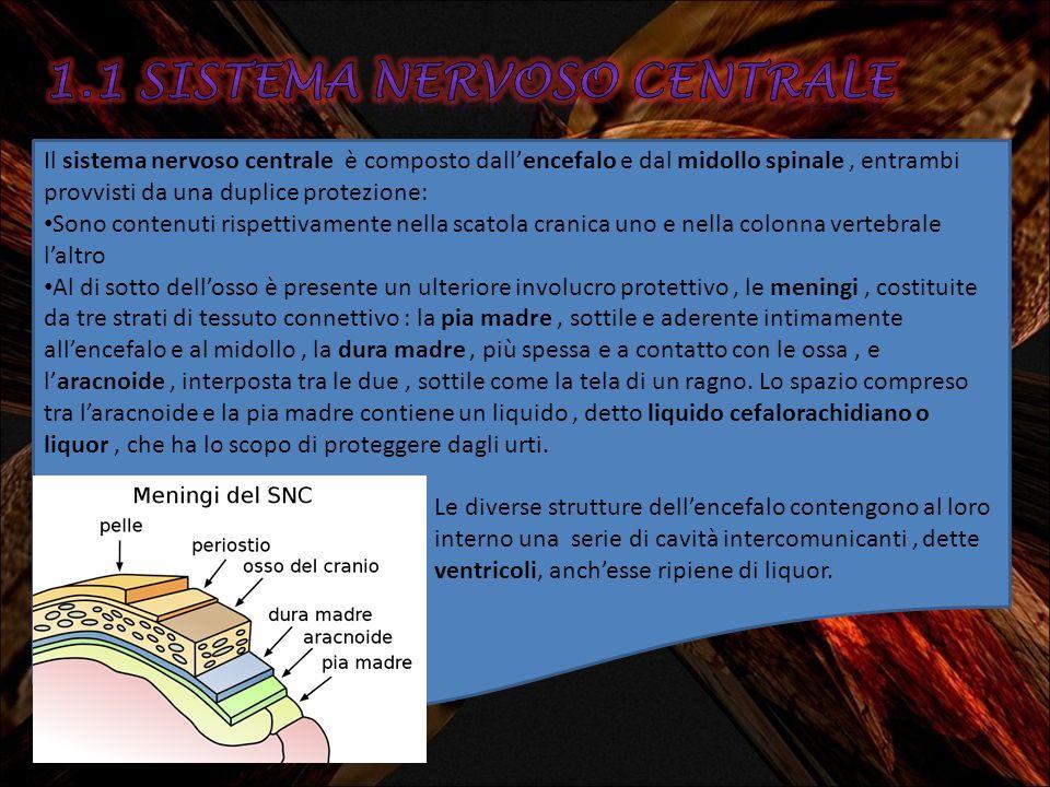 Il sistema nervoso centrale è composto dallencefalo e dal midollo spinale, entrambi provvisti da una duplice protezione: Sono contenuti rispettivament
