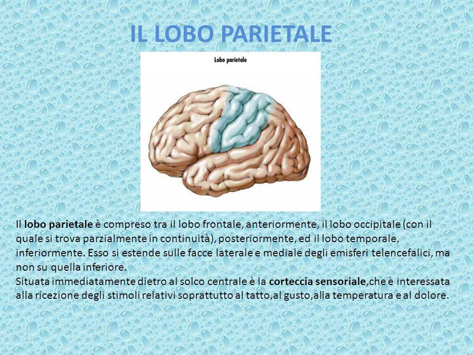 IL LOBO PARIETALE Il lobo parietale è compreso tra il lobo frontale, anteriormente, il lobo occipitale (con il quale si trova parzialmente in continui