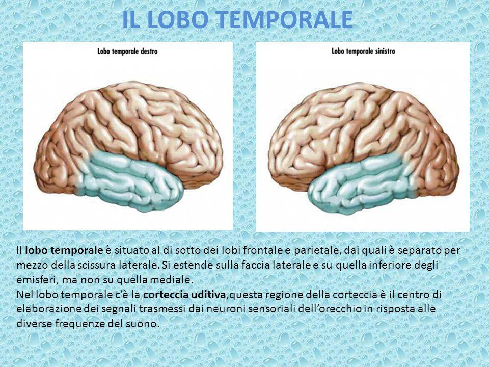 IL LOBO TEMPORALE Il lobo temporale è situato al di sotto dei lobi frontale e parietale, dai quali è separato per mezzo della scissura laterale. Si es